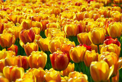 gisement de fleurs Jaune-rouge de tulipe photographie stock libre de droits
