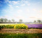 Gisement de fleurs néerlandais de jacinthe de ressort image stock