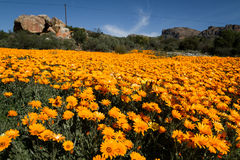 Gisement de fleurs orange Photos libres de droits