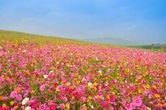 Gisement de fleurs sauvage de cosmos photographie stock libre de droits
