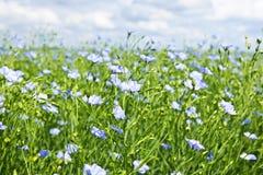 Gisement de floraison de lin textile Photo libre de droits