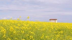 Gisement de floraison jaune lumineux de canola avec une maison, contre le ciel avec des nuages clips vidéos