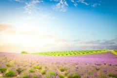 Gisement de floraison de lavande photo libre de droits