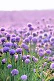 Gisement de floraison luxuriant de ciboulette Photographie stock