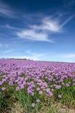 Gisement de floraison luxuriant de ciboulette Photo libre de droits