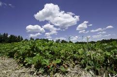 Gisement de fraise Photographie stock libre de droits