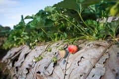 Gisement de fraise sur la montagne Image stock