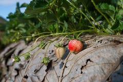 Gisement de fraise sur la montagne Photographie stock