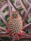 Gisement de fruit d'ananas Photographie stock libre de droits
