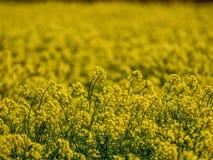 Gisement de graine de colza au printemps avec le fond unfocused photographie stock libre de droits