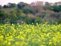 Gisement de graine de colza avec la région boisée brouillée de sortie dans la distance photo stock
