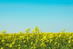 Gisement de graine de colza contre les cieux bleus, l'espace pour le texte photographie stock