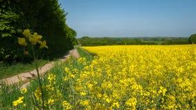 Gisement de graine de colza le long d'un chemin avec une fleur de viol dans le premier plan photo libre de droits