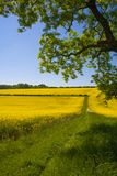 Gisement de graine de colza, le Sussex occidental, Angleterre image stock