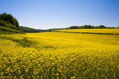 Gisement de graine de colza, le Sussex occidental, Angleterre photos stock