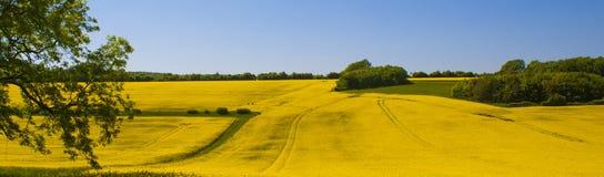 Gisement de graine de colza, le Sussex occidental, Angleterre image libre de droits