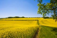 Gisement de graine de colza, le Sussex occidental, Angleterre photographie stock