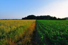Gisement de graine de colza à côté du champ de maïs Photographie stock libre de droits