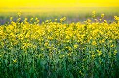 Gisement de graine de colza Image libre de droits