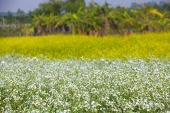 Gisement de graine de colza au ressort Photo libre de droits