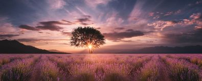 Gisement de lavande au coucher du soleil image libre de droits