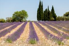 Gisement de lavande avec Cypress en Provence Photographie stock libre de droits