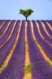 Gisement de lavande dans Valensole en été La Provence, sud de la France Images libres de droits