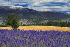 Gisement de lavande de la Provence Image stock