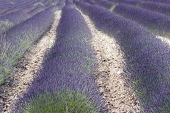 Gisement de lavande en Provence, France du sud Photographie stock libre de droits