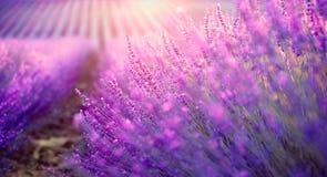 Gisement de lavande en Provence, France Lavande de floraison image libre de droits