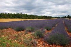 Gisement de lavande pendant l'été en Provence, France du sud Photo stock