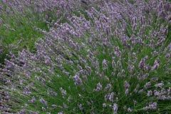 Gisement de lavande pendant l'été en Provence, France du sud Photos stock