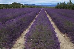 Gisement de lavande pendant l'été en Provence, France du sud Image stock