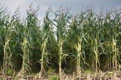 Gisement de maïs Images stock