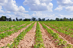 Gisement de manioc Image stock