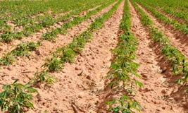 Gisement de manioc Image libre de droits