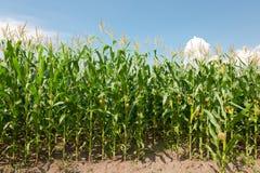 Gisement de maïs Photos libres de droits