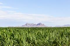 Gisement de montagne et de maïs Photos stock