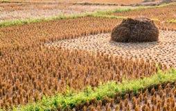 Gisement de paille de riz sur le champ agricole moissonné photo libre de droits