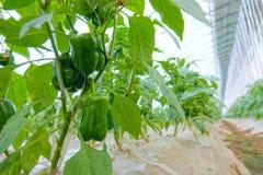 Gisement de poivron vert images stock