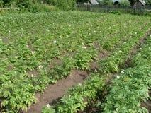 Gisement de pomme de terre Image libre de droits