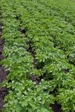 Gisement de pomme de terre Photographie stock libre de droits