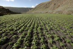 Gisement de pomme de terre dans la saleté volcanique, Lanzarote Photo libre de droits