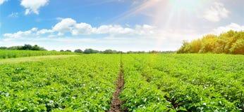Gisement de pomme de terre - panorama photographie stock