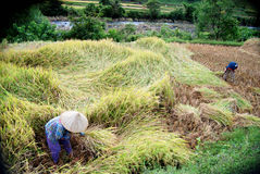 Gisement de riz à la ville de Maros Photographie stock libre de droits