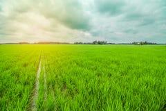 Gisement de riz Photos libres de droits