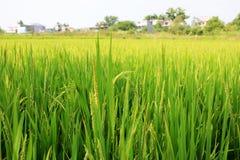 Gisement de riz Photographie stock