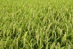 Gisement de riz Photos stock