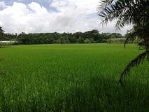 Gisement de riz photo libre de droits