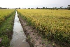 Gisement de riz Image libre de droits
